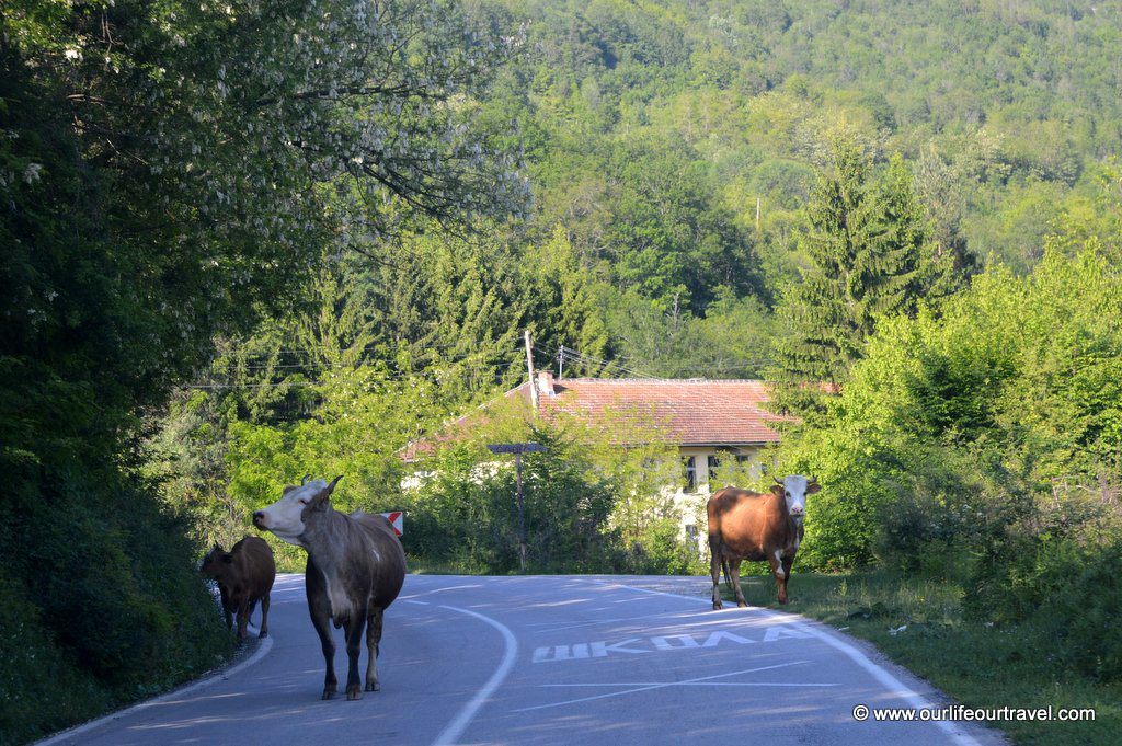 Cows on the road to Sutjeska National Park